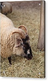 Sheep - Mt Vernon - 01134 Acrylic Print by DC Photographer