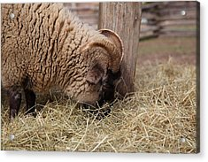 Sheep - Mt Vernon - 01135 Acrylic Print by DC Photographer