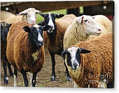 Sheep On A Farm Acrylic Print by Elena Elisseeva