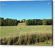 Sheep On Roadside Acrylic Print by Ron Torborg