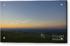 Sheep On The Gibbit Acrylic Print