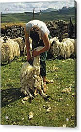 Sheep Shearing The Old Way Scotland Photograph By David Davies