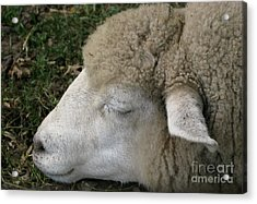 Sheep Sleep Acrylic Print by Ann Horn
