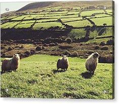 Sheep Standing In Field Acrylic Print by Thomas Peham / Eyeem