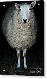 Sheep Acrylic Print by Stephanie Frey