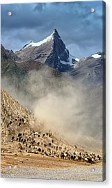 Sheep Trail Acrylic Print