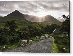 Sheep Walking Along A Road Early Acrylic Print