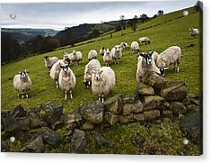 Sheep Will Eat Your Lunch Acrylic Print