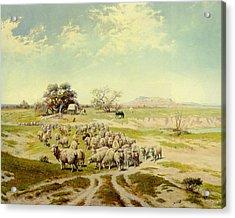 Sheepherding Montana Acrylic Print by Olaf Seltzer