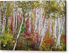 Shelburne Birch Acrylic Print by Jim Block
