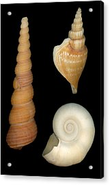 Shell - Conchology - Shells Acrylic Print by Mike Savad