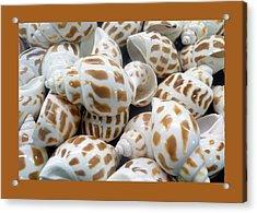 Shells - 7 Acrylic Print