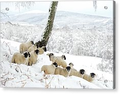 Sheltering Flock Acrylic Print by John Kelly