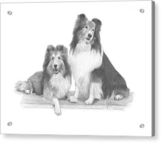Shelties Acrylic Print by Joe Olivares