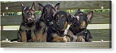 Shepherd Pups 2 Acrylic Print by Aimee L Maher Photography and Art Visit ALMGallerydotcom