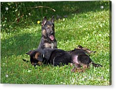 Shepherd Pups 20 Acrylic Print by Aimee L Maher Photography and Art Visit ALMGallerydotcom