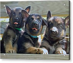 Shepherd Pups 3 Acrylic Print by Aimee L Maher Photography and Art Visit ALMGallerydotcom