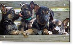 Shepherd Pups 5 Acrylic Print