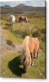 Shetland Ponies Acrylic Print