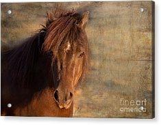 Shetland Pony At Sunset Acrylic Print
