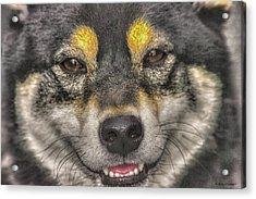 Acrylic Print featuring the photograph Shiba Inu by Dennis Baswell