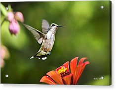Shimmering Breeze Hummingbird Acrylic Print by Christina Rollo