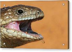 Shingle Back Lizard Acrylic Print