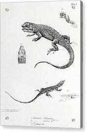 Shingled Iguana Acrylic Print by English School