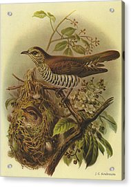 Shining Cuckoo Acrylic Print by Rob Dreyer