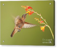 Shining Sunbeam Hummingbird Acrylic Print by Dan Suzio