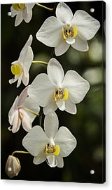 Shinning Orchids Acrylic Print by Penny Lisowski