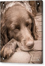 Acrylic Print featuring the photograph Shishka Dog Dreaming The Day Away by Peta Thames