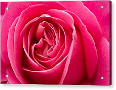 Shocking Pink Rose Acrylic Print