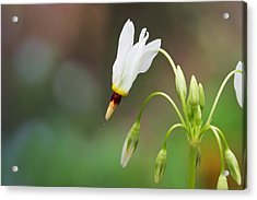 Shooting Star Wildflower Acrylic Print by Melinda Fawver