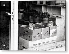 Acrylic Print featuring the photograph Shop Window Cats by Laura Melis