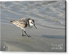 Shore Bird On Ocean Beach Acrylic Print