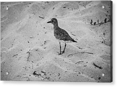 Acrylic Print featuring the photograph Shore Bird by Phil Abrams