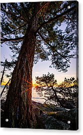 Shore Pine Point Acrylic Print by Alexis Birkill