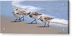Shorebird Quartet Acrylic Print