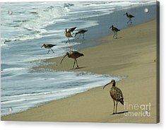 Shorebirds 1.4168 Acrylic Print by Stephen Parker
