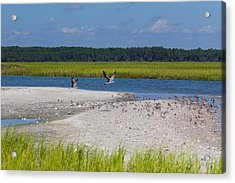 Shorebirds And Marsh Grass Acrylic Print