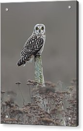 Acrylic Print featuring the photograph Short Ear Owl by Daniel Behm