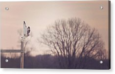Short Eared Owl At Dusk Acrylic Print