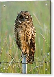 Short-eared Owl Acrylic Print by Doug Herr