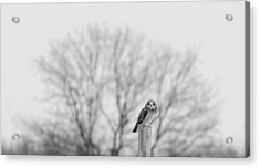 Short-eared Owl In Black And White Acrylic Print