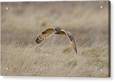 Short-eared Owl In Flight Acrylic Print