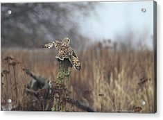 Acrylic Print featuring the photograph Short Eared Owl In Habitat by Daniel Behm