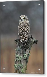 Acrylic Print featuring the photograph Short Eared Owl Perched by Daniel Behm