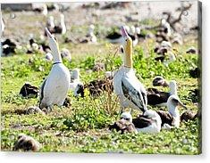 Short-tailed Albatross (phoebastria Acrylic Print