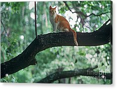 Shorthair Cat Acrylic Print by James L. Amos
